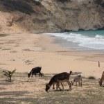 ������, ������: Goats of Gaudeloupe