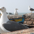Stock Photo: Gulls in Essaouira