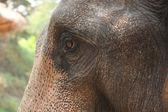 Regard d'éléphant — Stock Photo