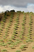 Olive trees at Douro Valley — Stock Photo
