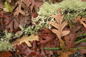Lichen and leaves — Stock Photo