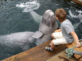 The dolphin beluga kisses the boy — Stock Photo