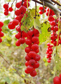 Berries of Schisandra chinensis — Stock Photo