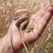 Ears and grains of wheat on a palm — Stock Photo