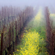 Foggy Vineyard - Foto de Stock