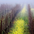 Stock Photo: Foggy Vineyard