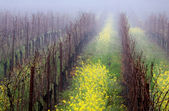 Foggy Vineyard — Foto Stock
