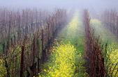 霧のブドウ園 — ストック写真