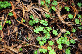 Redwood Sorrel — Stock Photo