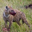 Hyena Kill — Stock Photo