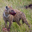 Hyena Kill — Foto de Stock