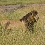 ������, ������: Lion King