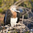 Stock Photo: Juvenile frigate bird