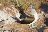 Blue footed boobie courting — Stok fotoğraf