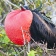 Stock Photo: Magnificent frigate bird