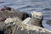 Marine iguanas — Stock Photo