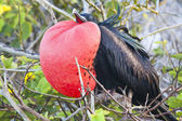 Magnificent frigate bird — Stock Photo