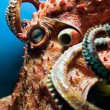 Stock Photo: Head of Octopus