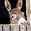 Head of a Donkey — Stock Photo #4587405