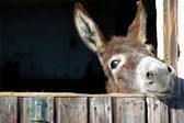 Funny Donkey — Photo