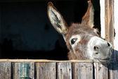 搞笑驴 — 图库照片