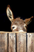 Shy donkey — Photo