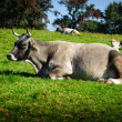 Swiss Cattle Resting — ストック写真