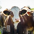 Stock Photo: Group of nosy Cows