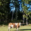 Cow on an idyllic Pasture — Foto de Stock