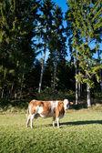 Kráva na idylické pastviny — Stock fotografie