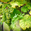 Stock Photo: White Grapes on a Branch