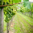 White Grapes — Stock Photo #4630550