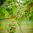 Foto Stock: Bunch of white Wine Grapes