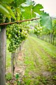 Uvas blancas — Foto de Stock