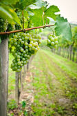 White Grapes — Stockfoto