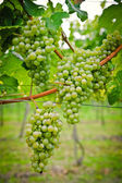Bunch of white Wine Grapes — Stock Photo