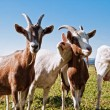 Stock Photo: Group of Goats