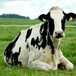 Resting Holstein Cow - Stock Photo