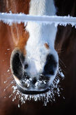 Frozen Horse Snout — Stock Photo