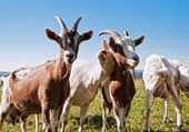 Group of Goats — Stock Photo