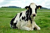 Vaca holstein de reclinación — Foto de Stock