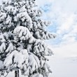 Stock Photo: Snowy Pine Tree