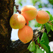 Stock Photo: Bunch of ripe Apricots