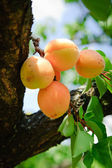 Bunch of ripe Apricots — Stock Photo