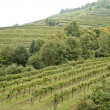 Vineyard in Wachau — Stock Photo