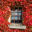Stock Photo: Red Foliage on the House