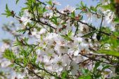 Spring blossom — Stock Photo