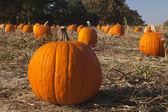 Pumpkins at a pumpkin patch — Stock Photo
