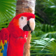 Stock Photo: Red Parrot