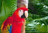 Red Parrot — Stock Photo